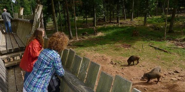 Blick vom Aussichtssteg ins Wildschweingehege