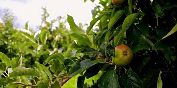 Äpfel in einer Plantage