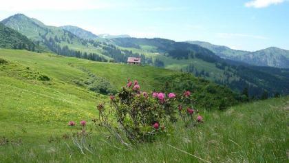 Alpenrosen auf der Prinschenalpe