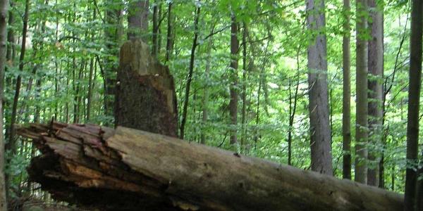 Der Hans-Watzlik-Hain ist ein Stück fast unberührter Wald.