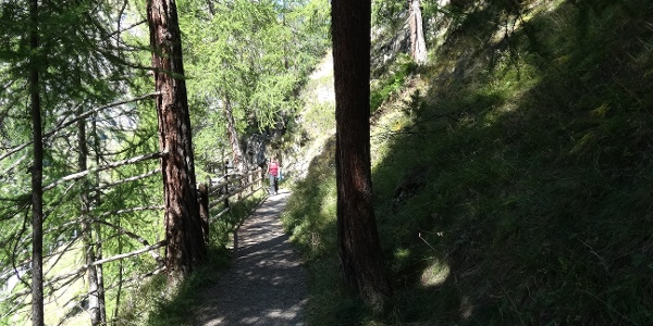 Promenade dans la forêt de mélèzes