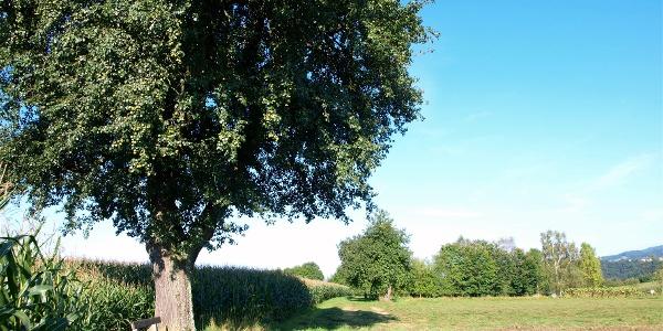 Baum mit Rastbank auf 510m