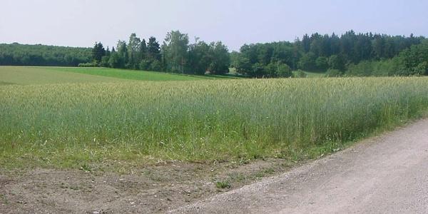 Die Wanderung führt an Weizenfeldern vorbei.