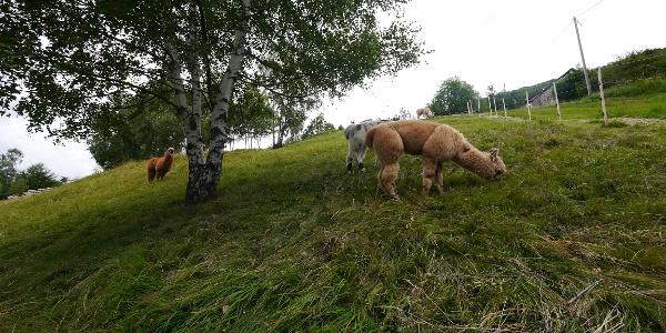 Lamas am Monte di Comino
