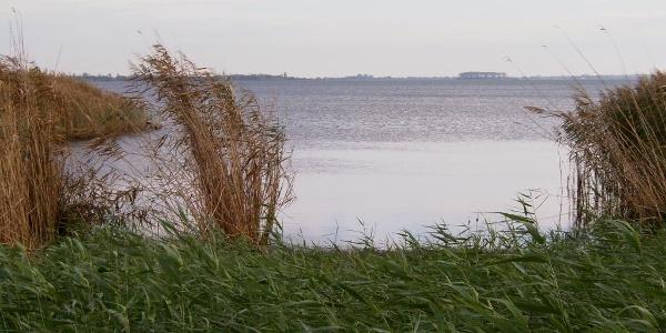 In den flachen Uferbereichen wird der Strelasund von dichten Schilfgürteln gesäumt.