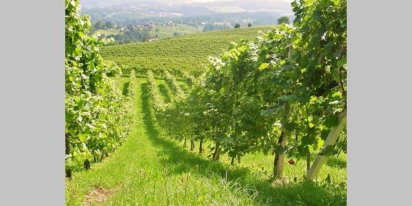 Weinzeile im Sommer