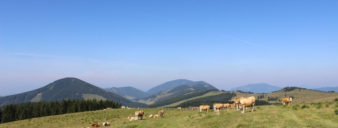 Sommeralm, Ausblick mit Viehweide