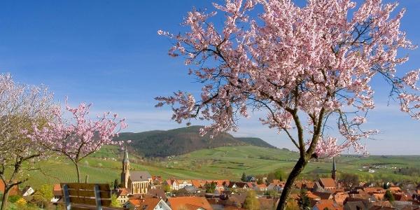 Birkweiler Mandelbaum