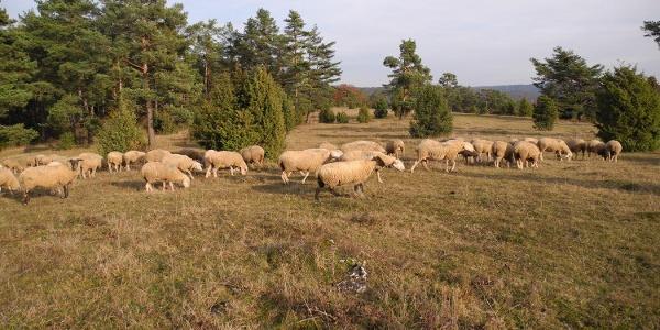 Schafherden auf den Wacholderheiden bei Riedenburg