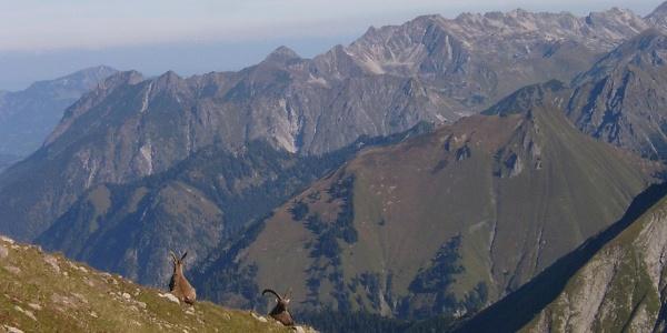 Steinböcke in den Allgäuer Bergen