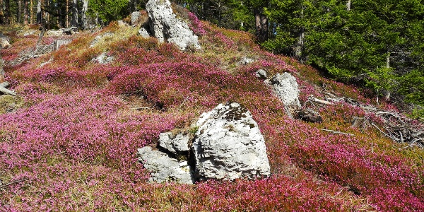 Erikablüte am Wolfsbergkogel