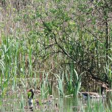 Brutgebiet für Gänse und Enten