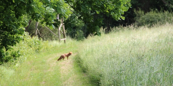 Fuchs auf der Traumschleife