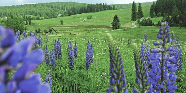Sommerwiese im Schwarzwald