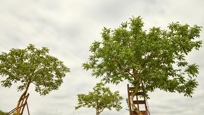 krumme Nussbäume in Krummnussbaum
