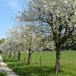 Kirschblüte in Hagen a.T.W.