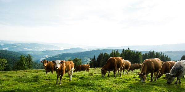 Kühe am Wechsel