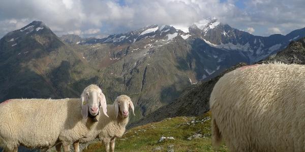 Schafe am Gipfel der Mairspitze