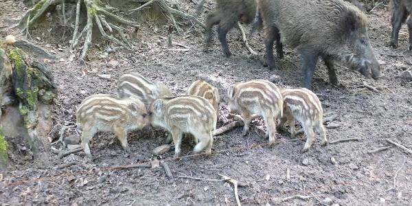 Bache mit Nachwuchs im Wildpark