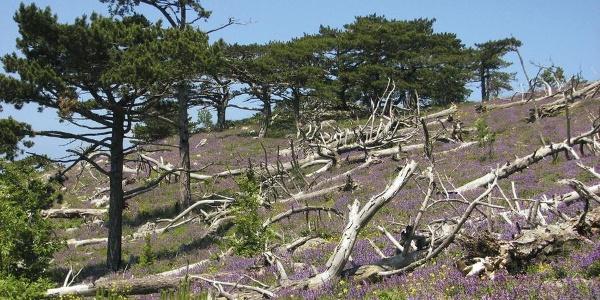 Vegetacija na Svetom Iliji na Pelješcu