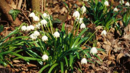 Maiglöckchen im Frühlingstal