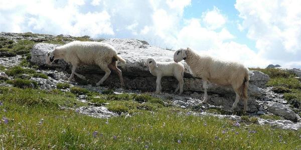 Schafe Antersasc