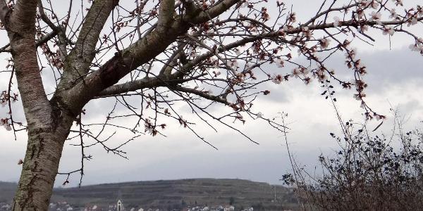 Blüte im Februar oberhalb Ihringen