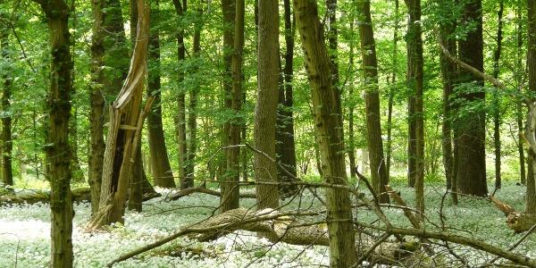 der Bärlauch-Eichen-Hainbuchenwald im Frühjahr