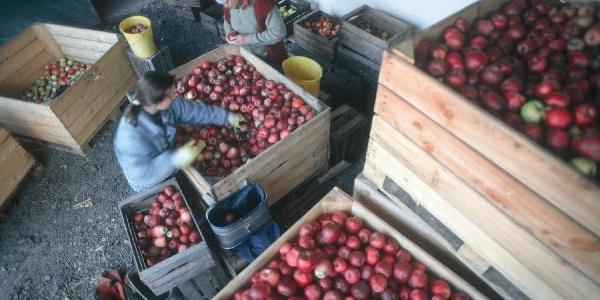 Äpfelsortieren