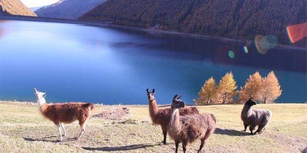 Lama at the Vernagt Stausee