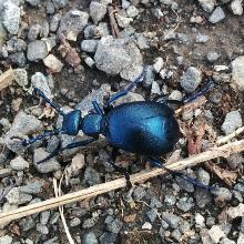 Blauschwarzer Ölkäfer
