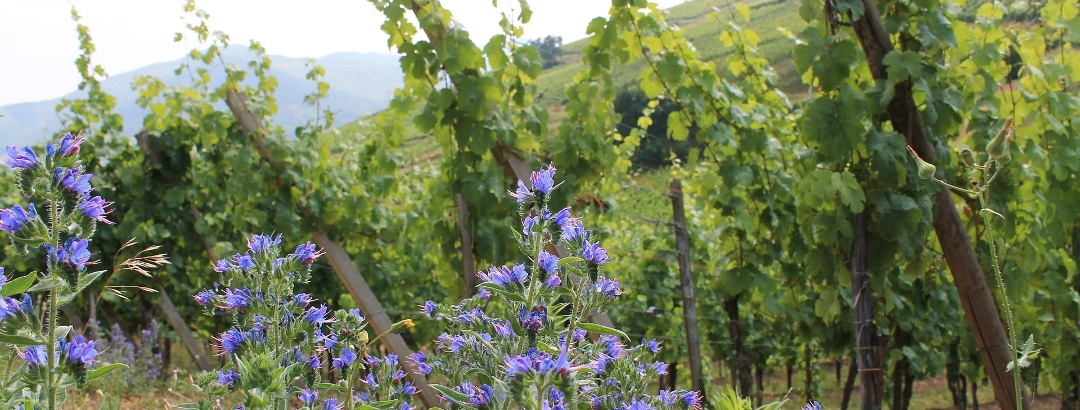 Ein Weinberg im Elsass