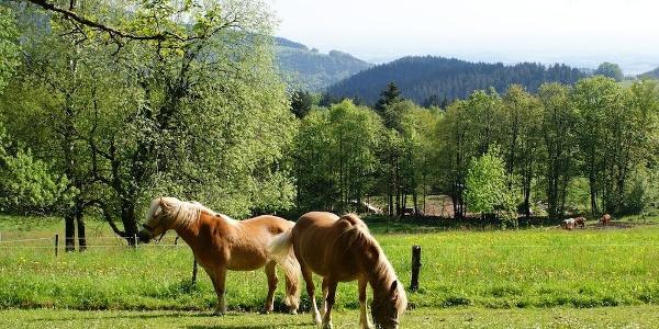 Pferdeweide am Weg in Glashütt