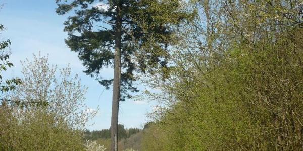 Alte Douglasie - Naturdenkmal mit Spuren von Blitzeinschlag