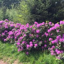 Rhododendrenweg
