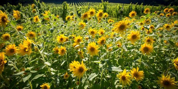 Sonnenblumenpracht in der Südsteiermark