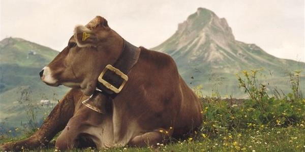 Kühe genießen den Sommer auf der Alpe