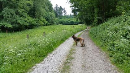 Mächtige Kiefern entlang des Weges und Kühe auf der einsamen Wiese