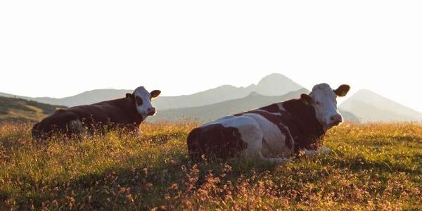 Die Kühe der Lurgbauers
