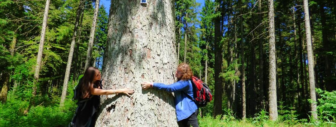 Einer der zahlreichen Tannenriesen im Freudenstädter Wald