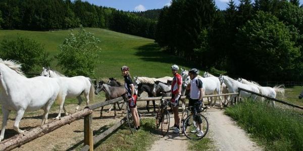 Lipizzaner mit Radfahrer