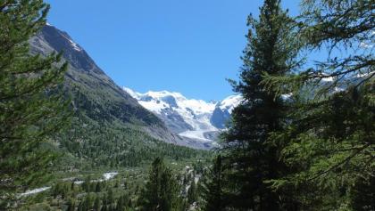 Blick durch den Wald auf den Morteratschgletscher und die Bellavista