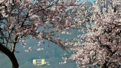 Villa Ludwigshöhe in der Mandelblüte