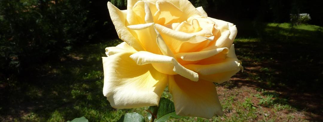 Rosen an der Riviera dei Fiori