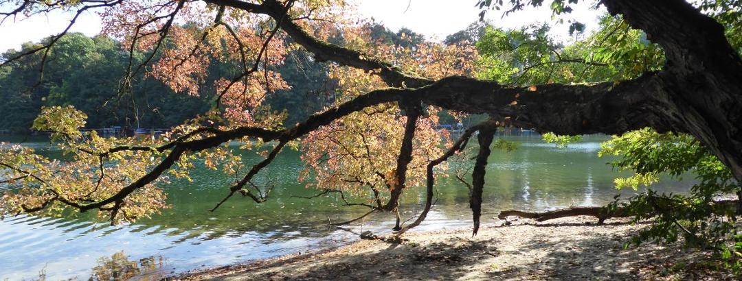 Alter Baum am See