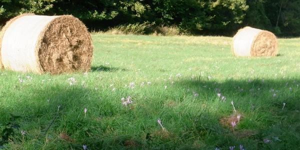 Wiese mit Herbstzeitlose