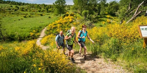 Wandern durch die Ginsterblüte auf der Rur-Olef-Route im Nationalpark Eifel