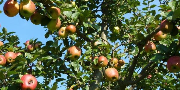 Apfelbaum auf der Streuobstwiese