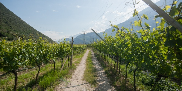 Back to the starting point through the vineyards