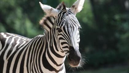 Zebra im Zoo Vivarium Darmstadt